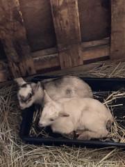 産まれたてやぎさん3月24日(ラブちゃんの2回目出産)-6.jpg