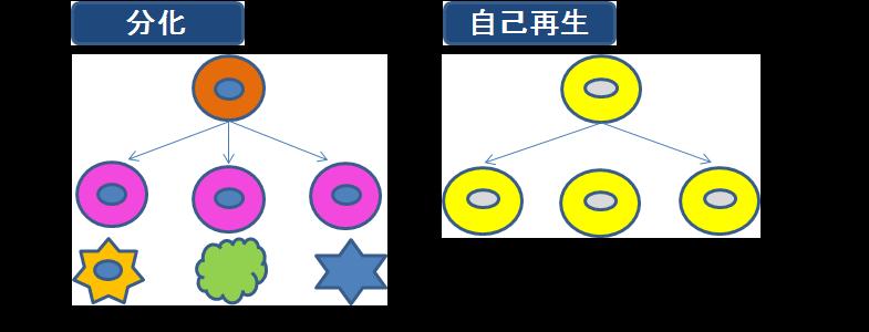 シャイニーセルステムセルヒト幹細胞培養液分化自己再生.png