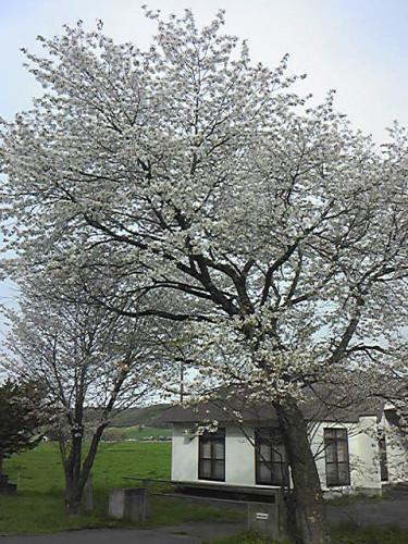 200516_霞桜.jpg