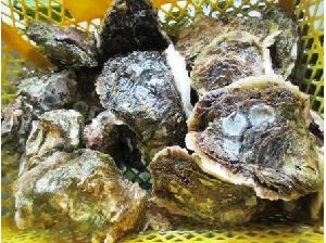 しまなみ海道 大島 宮窪産の岩牡蠣