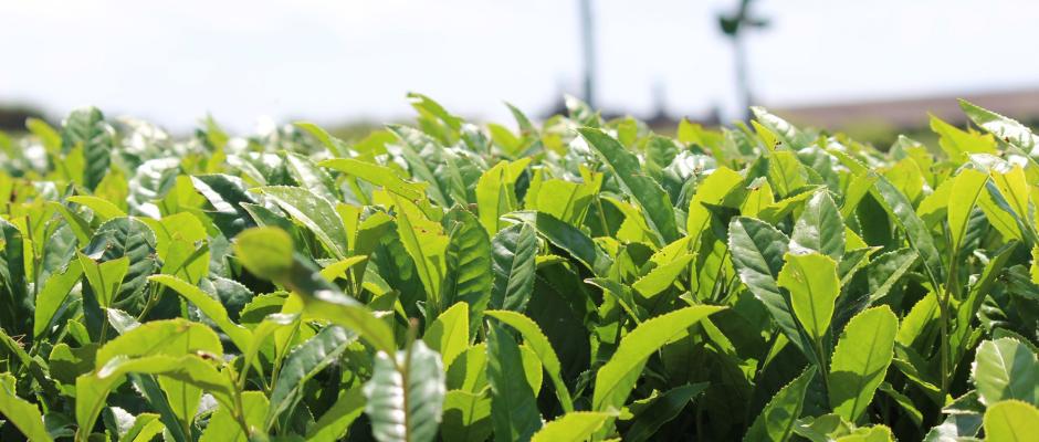 新茶の時期の茶畑