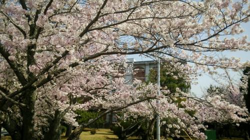 sakura-kounai.jpg
