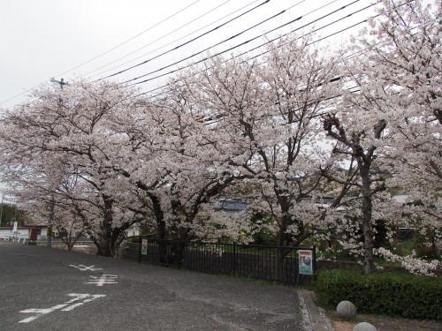 006軍艦大淀慰霊碑近くの桜並木