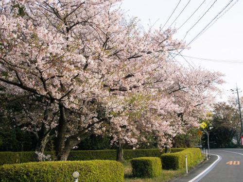 007美能地区から是長へ向かう途中に見える桜