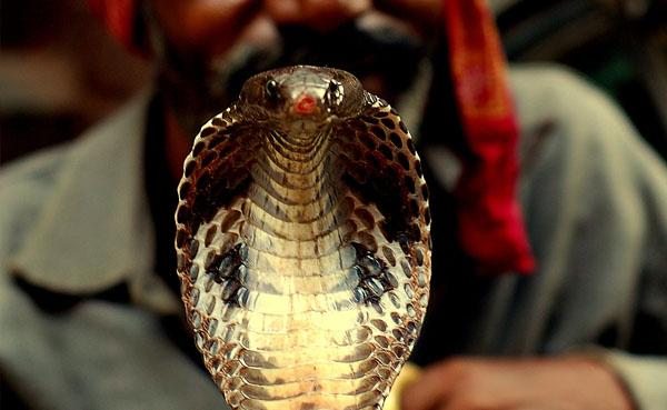 キングコブラの画像 p1_24