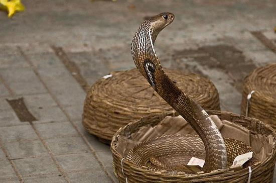 キングコブラの画像 p1_13