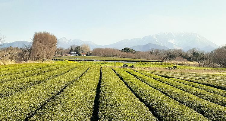 トップ_大山と茶畑.jpg