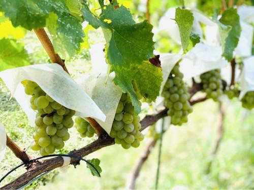 9月24日、白ワインを初仕込みしました
