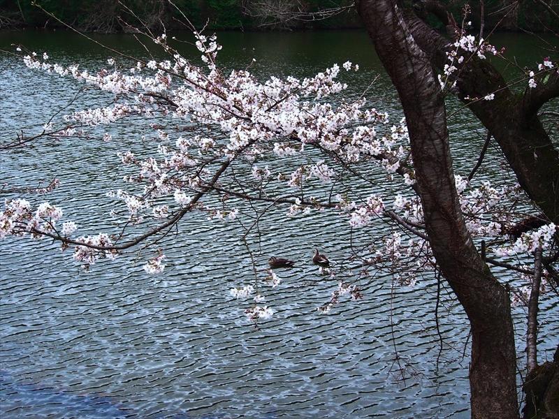 small桜.JPG