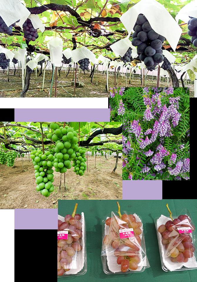 ぶどう園の様子・ヘアリーベッチ・ヘアリーベッチの除草効果・包装された甲斐路の写真