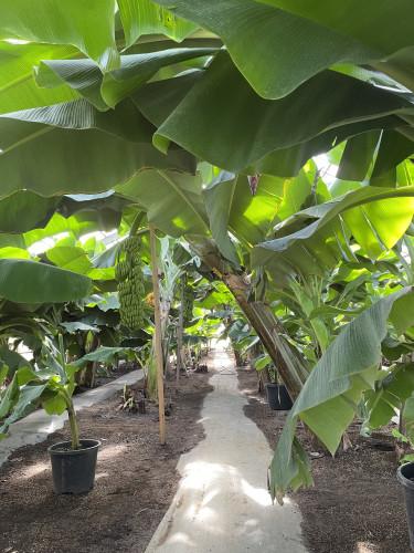 バナナの森①.JPG