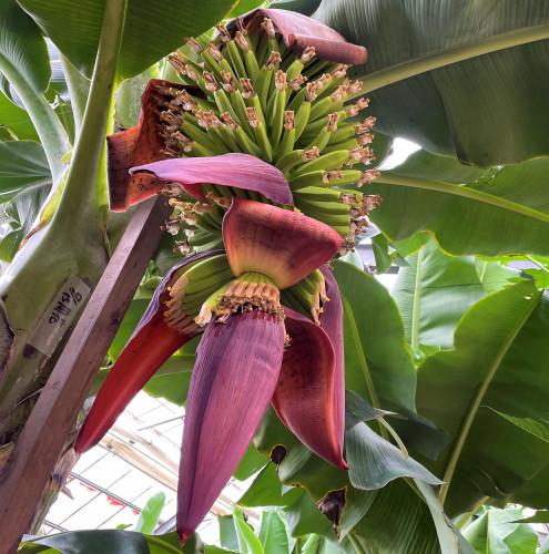 バナナ花弁 (4).JPG