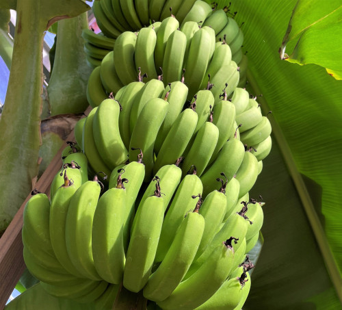 バナナ① (3).JPG