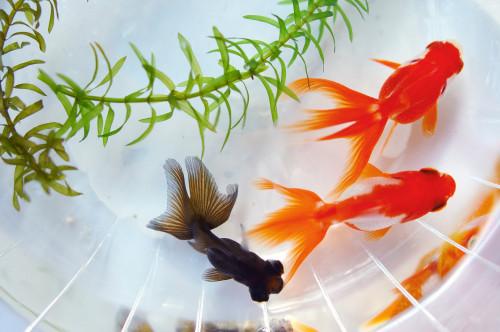 サンプル画像金魚(セミナー用).jpg