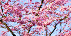 cherry-blossom-1318258_1920.jpg