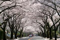 伊豆高原桜.jpg