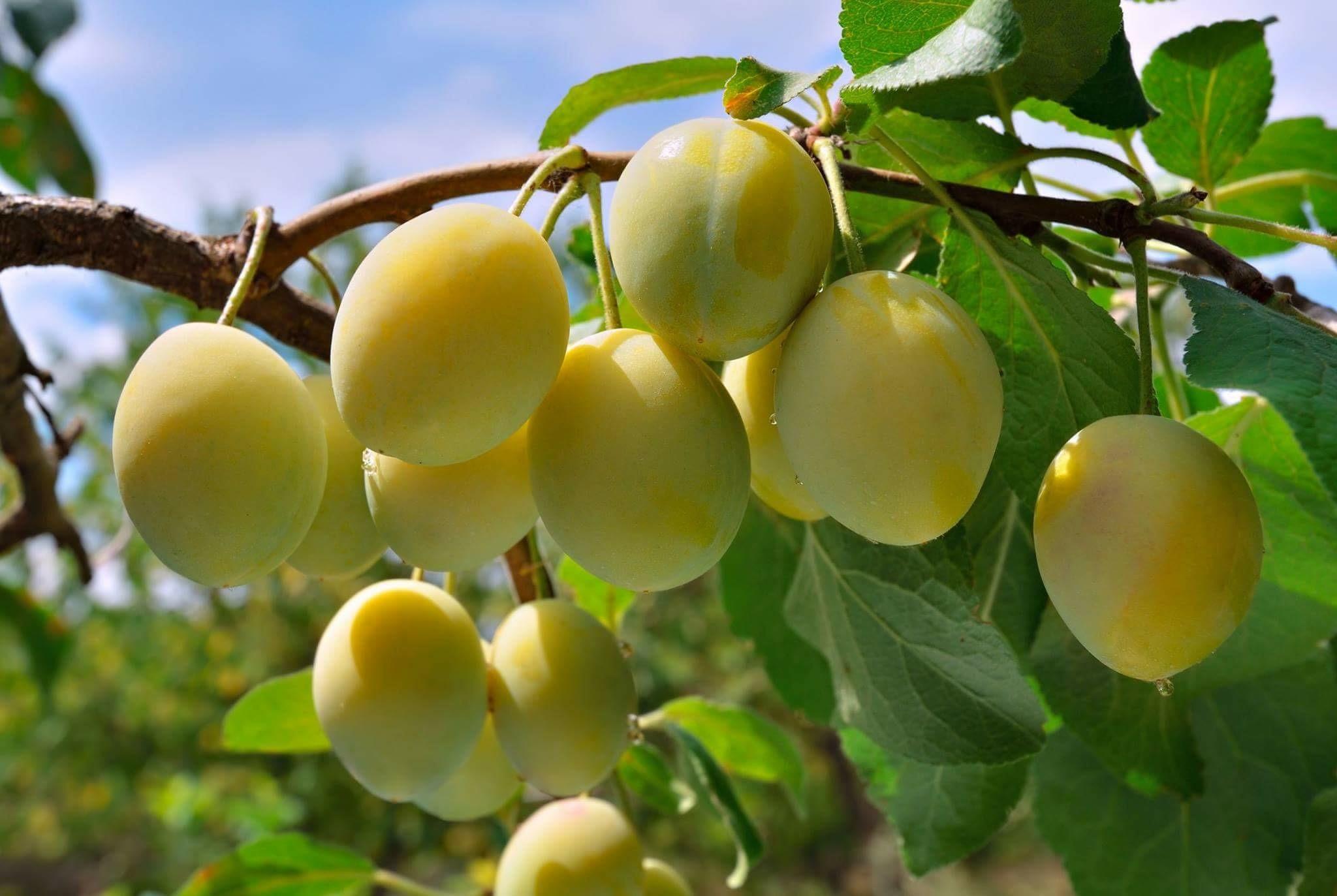 梅のフルーツ酵素