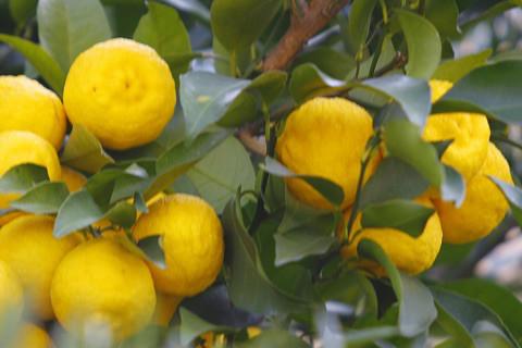 無農薬 黄柚子 柚子胡椒 酵素