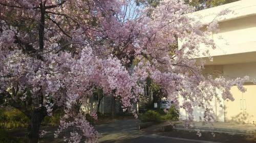 京教大の桜2017-2.JPG