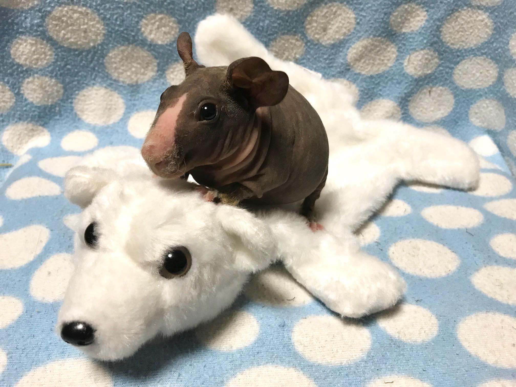 ピッグ スキニー ハリネズミ 小動物販売!国産・自家繁殖ハリネズミ・フクロモモンガ・スキニーギニアピッグ。アドバイザーのいるペットショップ
