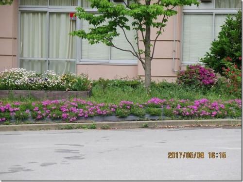 桜 プランター 芝
