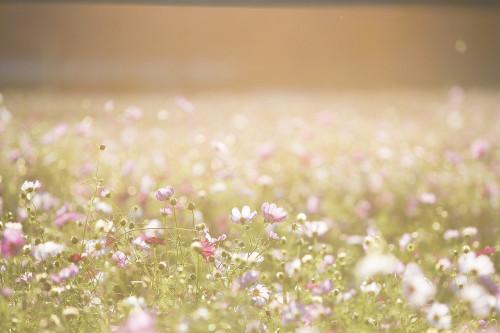 cosmos-flowers-1138041_1280.jpg