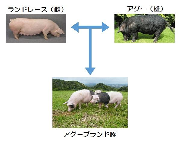 アグーブランド豚.jpg