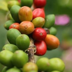 コーヒー豆1.jpg
