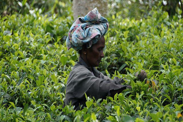 オリジナルな紅茶をお探しですか~スリランカで製造されているムレスナティーは高品質~