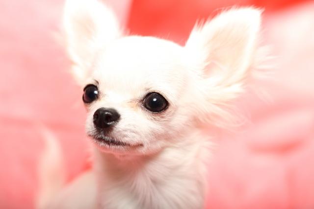犬服のセーターやパーカーをお探しなら~チワワなどの小型犬用もお届け~