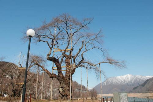 荘川桜.jpg