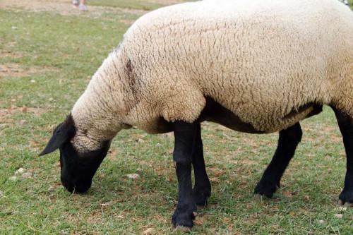 牧歌の里 羊 3.jpg