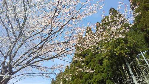 モネの池 桜.jpg