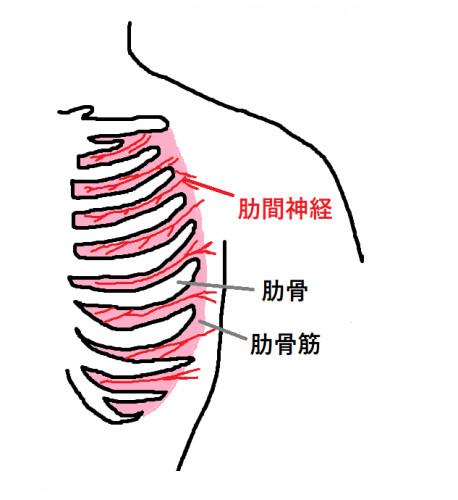 肋骨1.png