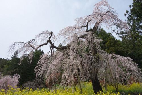 中津 しだれ桜.jpg