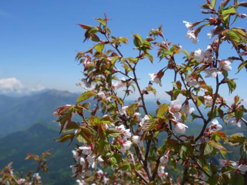 石鎚山 石鎚桜.jpg