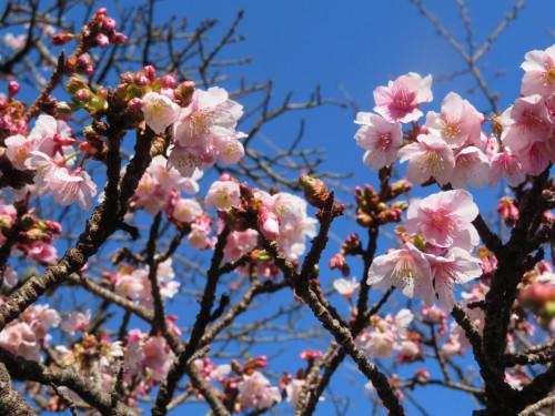 20210114熱海桜.JPG