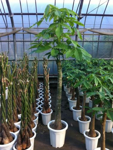 観葉植物の通販  大型 パキラのハウス.jpg