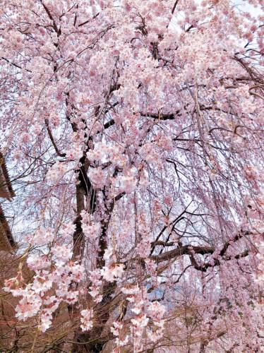 枝垂桜.jpeg