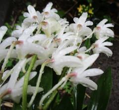 雨の蘭ー2.jpg