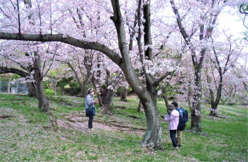 DSCF3841千里中央 桜の丘.jpg