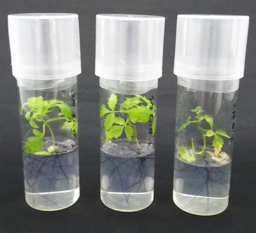 ヌルデ幼植物.png