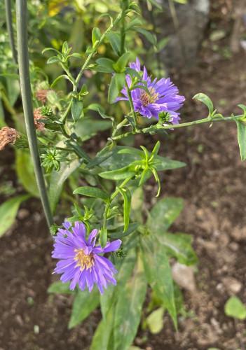 210717紫の花.jpg