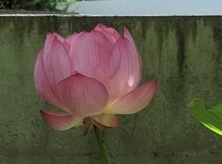 210719蓮の花(2).jpg