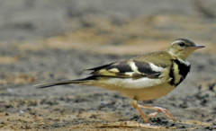 Forest_wagtail.jpg
